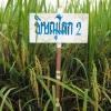 พันธุ์ข้าว พิษณุโลก2 ( PL002 )