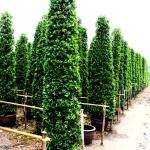 ขายต้นไทรเกาหลี ไทรประดับ ทำรั้ว สูง 2-2.5 เมตร