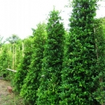 ขายต้นไทรเกาหลี ไทรประดับ ทำรั้ว สูง 1.5-2 เมตร