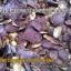 ขายส่ง/ปลีก กระชายดำป่า อบแห้ง (1 กก.) thumbnail 3