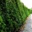 ขายต้นไทรเกาหลี ไทรประดับ ทำรั้ว สูง 3-3.5 เมตร thumbnail 9