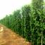 ขายต้นไทรเกาหลี ไทรประดับ ทำรั้ว สูง 3-3.5 เมตร thumbnail 3
