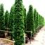 ขายต้นไทรเกาหลี ไทรประดับ ทำรั้ว สูง 3-3.5 เมตร thumbnail 2