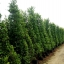 ขายต้นไทรเกาหลี ไทรประดับ ทำรั้ว สูง 2-2.5 เมตร thumbnail 4