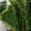 ขายต้นไทรเกาหลี ไทรประดับ ทำรั้ว สูง 3-3.5 เมตร thumbnail 5