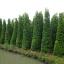 ขายต้นไทรเกาหลี ไทรประดับ ทำรั้ว สูง 3-3.5 เมตร thumbnail 1