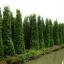 ขายต้นไทรเกาหลี ไทรประดับ ทำรั้ว สูง 3-3.5 เมตร thumbnail 6
