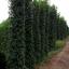 ขายต้นไทรเกาหลี ไทรประดับ ทำรั้ว สูง 3-3.5 เมตร thumbnail 8