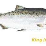มาทำความรู้จักปลาแซลมอนอลาสก้าที่เราใช้ทำวัตถุดิบกันค่ะ